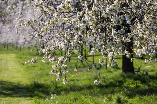 Blühende Kirschbäume in Ockstadt